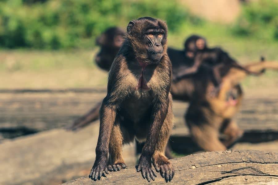 Panikangst har vi til fælles med med aberne