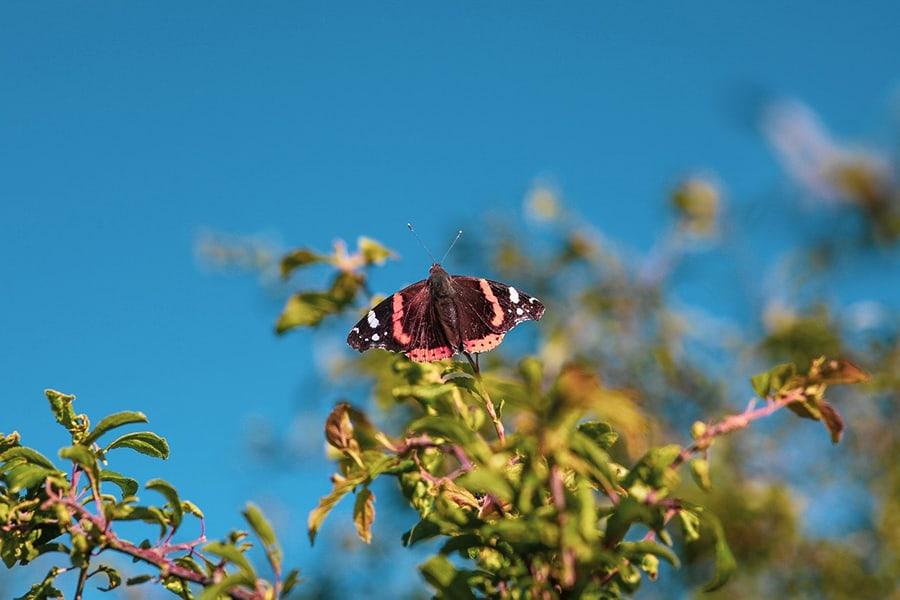 Stress fri sommerfugl Admiral